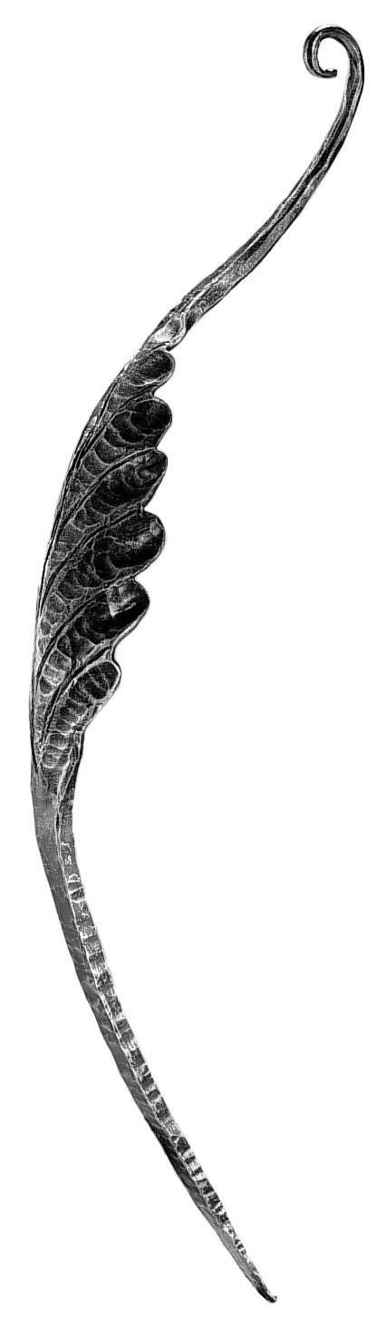 "Leaf, Curved, Large (31-1/2""H, 7-7/8""W)"